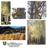 1 Quaking Aspen Trees, 15+in, Fast Growing Ornamental, Fall Gold - White Trunk