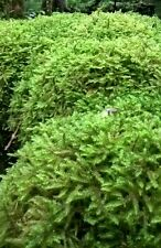 Sphagnum moss 1kg - live moss-   handpicked so fresh when posted