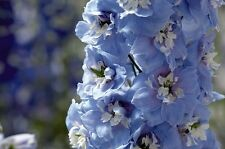25+ Mid-Blue Magic Fountains w/White Bee Delphinium Flower Seeds / Perennial
