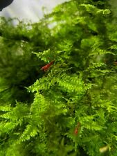 30 (+4 Doa) Fire Red Cherry Shrimp