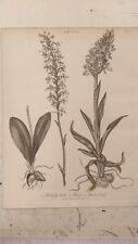 Orchis: Butterfly Orchis: Encyclopaedia Londinensis V.17