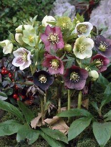 Helleborus Mixed Hybrids! Various colour mix Christmas Rose Hardy winter flower