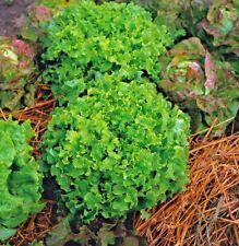 Vegetal LECHUGA VERDE Bol de ensalada Mínimo 8000 Semillas rizado tipo