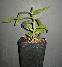 Trichoglottis rosea v breviracema species Orchid Plant