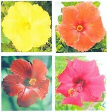 4 Hawaiian Hibiscus Plant Cuttings Mixed ~ Grow Hawaii