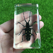 Asian Spotted Longhorn Beetle(Anoplophora chinensis)Clear Learning Specimen
