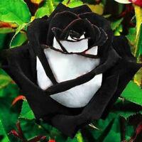 KE_ KQ_ 400Pc Rare Mixed Black Rose Flower Seeds Garden Perennial Bonsai Plant