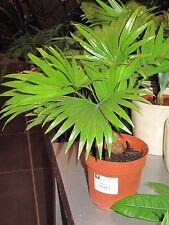Saribus rotundifolius - Footstool Palm - 10 Seeds