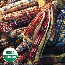 50 USDA Organic Mandan Bride Indian Corn mix USA colors heirloom Zea mays maize