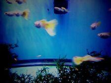 8 ( eight) + 2 free Yellow Delta Guppies - Juvenile/ fry- Gorgeous
