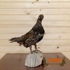 Blue Spruce Grouse Taxidermy Mount - Sw10091