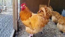 12 English Buff Orpington Hatching Eggs - NPIP