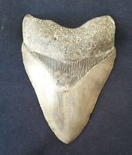 More details for fossil megladon shark tooth  3.85
