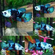 Galaxy Green Blue Halfmoon Plakat Female - IMPORT LIVE BETTA FISH FROM THAILAND