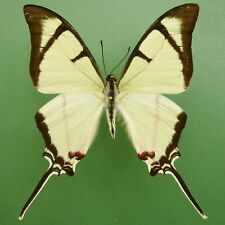 EURYTIDES SALVINI MALE FROM CHIAPAS, MEXICO