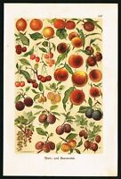 1901 Stone Fruits, Peaches, Cherries, Plums, Antique Botanical Print - F.Martin