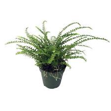 "Lemon Button Fern Live Plant 4"" Pot Nephrolepis Cordifolia Duffii"