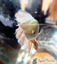 Live aquarium betta fishes ebay for List of fish that can live with bettas