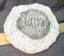 Butw Morocco trilobite arthropod fossil lapidary specimen 0637A dl