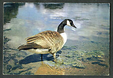 C1970s View of a Canada Goose