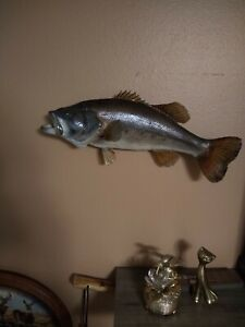 Taxidermy Largemouth Bass Real skin Wall mount VTG fish with attitude cabin Deco