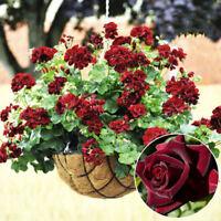 Eg _ 20 Stück Geranie Blumen Samen Rose Pelargonie Pflanze Staude Dekoration No
