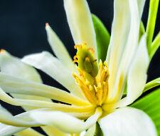 Champaca 1/7 ml  Essenz Magnolien aus Philipinen 100% naturreines ätherisches Öl