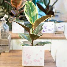 1 x Ficus Tineke   Indoor Plant Gift for Home or Office   30-40cm with Pot