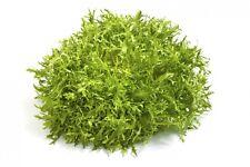 60 Graines de Chicorée Frisée Non Traité seeds plante salade légumes potager
