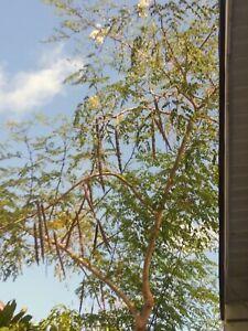 Moringa Oleifera Cuttings Fast Grow Organic Miracle Tree Horseradish Super Food
