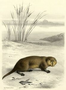 Natural History the Otter Lithography Original Edward Travies 19th