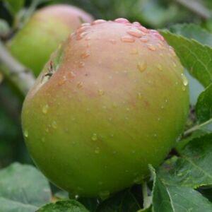 English grown APPLE TREES