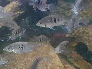 10 X FIREMOUTH CICHLIDS SMALL LIVE TROPICAL FISH AQUARIUM