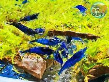 10 +1 Blue Velvet - Freshwater Neocaridina Aquarium Shrimp. Live Guarantee