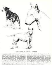 Bull Terrier Sketch - 1963 Vintage Dog Print - Matted