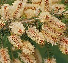 Melaleuca incana in 50mm forestry tube native plant