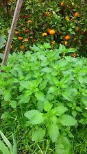 Stinging Nettle (Urtica dioica) x 100 seeds
