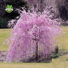 20 pink fountain weeping cherry tree Seeds DIY Home Garden Dwarf Tree Seeds