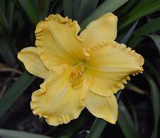 PLANTS-DAYLILY- H.'Dalriada '