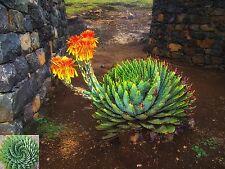 ~ African Spiral Aloe ~ Aloe Polyphylla ~ Rare Succulent Seeds ~ Amazing Cacti