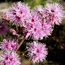 KUNZEA rostrata Seeds (N 19)