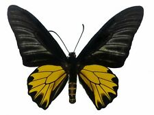 Real Troides aeacus, Male Golden Birdwing Butterfly Historic Collection