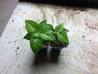 """2 PACK CAROLINA REAPER Pepper Plant (Red)  40 + Days Old (1-1/2"""" + to 4"""" Tall)"""