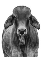 BRAHMAN BULL COW  * LARGE A3 SiZE QUALITY CANVAS  PRINT
