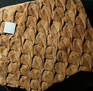 Museum quality Lepidodendron coal scale tree fossil plant arborescent lycopod