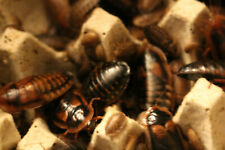 Dubia Roaches, Blaptica Dubia, Starter Colony, 35, Feeder Insect, Cuc, Adults