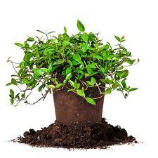 Asiatic Jasmine, Live Plant, Size: 1 Gallon