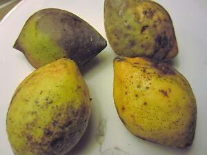 "1 seedling 16"" TALL Tropical Almond Tree Plant CAY BANG Terminalia Catappa"