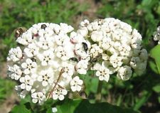 30+ White Butterfly Weed Flower Seeds / Asclepias / Milkweed / Perennial