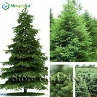 50 seeds /bag Home Garden Plant Spruce Tree Bonsai green tree seed DIY home gard